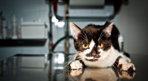 Sjuk katt på veterinären Royaltyfri Foto