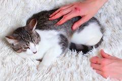 Sjuk katt, sårat, räddat från stadsgator Världsdaghusdjur, begrepp för skydddjur Skrapade räddarehänder royaltyfri bild