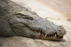 Sjuk krokodil som sover eller värma sig i solen Royaltyfri Foto