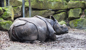 Sjuk noshörning utan ett horn Offret av tjuvskyttar Noshörningen behandlade på det djura sjukhuset av nationalparken Royaltyfri Fotografi