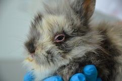Sjuk ung kanin med bindhinneinflammation och respiratorisk infektion på en veterinär- klinik royaltyfri foto