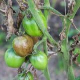 Sjuka tomater Royaltyfri Fotografi