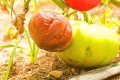 Sjuka tomater Arkivbilder