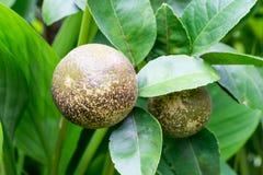 Sjukdom för kräfta för citronträd Arkivbild