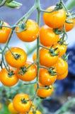 Sjukdomar och skada på tomatfrukter royaltyfri fotografi