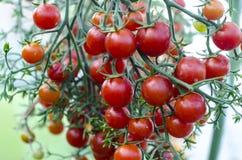 Sjukdomar och skada på tomatfrukter fotografering för bildbyråer