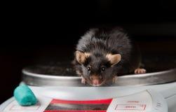 Sjukligt fet mus Royaltyfri Foto