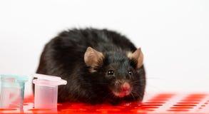 Sjukligt fet mus på rörkuggen Royaltyfria Bilder