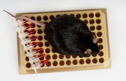 Sjukligt fet mus på rörkuggen Arkivbild