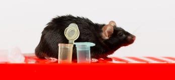 Sjukligt fet mus på rörkuggen Royaltyfri Bild