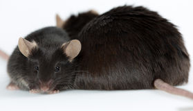 Sjukligt fett och healty luta möss Royaltyfria Bilder