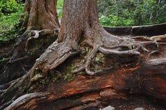 Sjuksköterskainloggning skogen Royaltyfri Fotografi