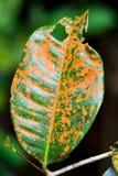 Sjukt blad med svampen för brun fläck arkivfoto