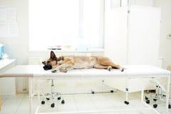 Sjukt djur royaltyfri foto