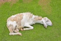 Sjukt lamm i grönt fält Fotografering för Bildbyråer