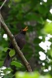 Sjunga för Blackbird Royaltyfria Bilder