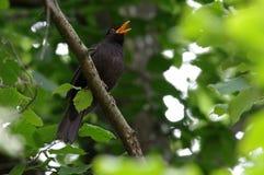 Sjunga för Blackbird Royaltyfria Foton