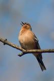 sjunga för fågelbofink Fotografering för Bildbyråer