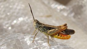 Sjunga för gräshoppa | Tätt upp royaltyfria foton