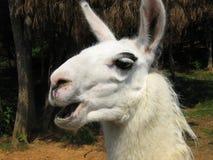 sjunga för llama Fotografering för Bildbyråer