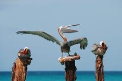 sjunga för pelikan Royaltyfri Bild