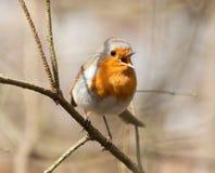 sjunga för robin Royaltyfria Foton