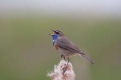 sjunga för bluethroat Royaltyfri Foto