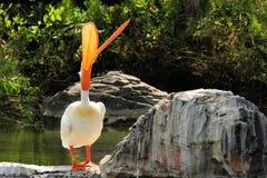 sjunga white för amerikansk pelikan Royaltyfri Bild