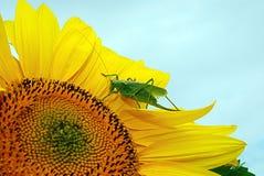 Sjungande gräshoppa på blomman Royaltyfria Foton