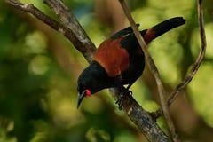 Sjungande norr öSaddleback - Philesturnus rufusater - tieke i den nyazeeländska skogen Arkivbild