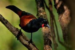 Sjungande norr öSaddleback - Philesturnus rufusater - tieke i den nyazeeländska skogen Arkivfoton