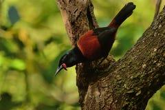 Sjungande norr öSaddleback - Philesturnus rufusater - tieke i den nyazeeländska skogen Fotografering för Bildbyråer