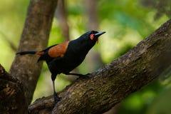Sjungande norr öSaddleback - Philesturnus rufusater - tieke i den nyazeeländska skogen Royaltyfri Fotografi