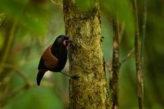 Sjungande norr öSaddleback - Philesturnus rufusater - tieke i den nyazeeländska skogen Arkivfoto