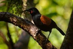 Sjungande norr öSaddleback - Philesturnus rufusater - tieke i den nyazeeländska skogen Royaltyfria Foton
