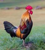 Sjungande Rooster Royaltyfri Bild