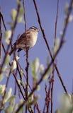 sjungande sparrow Arkivfoto