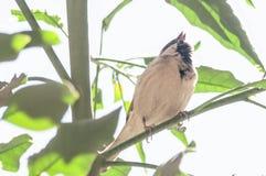 sjungande tie för fågelbrösthjärta Arkivfoto