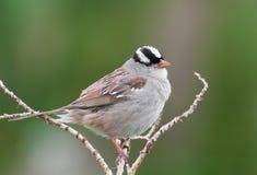 Sjungande vit som krönas Sparrow Arkivbilder