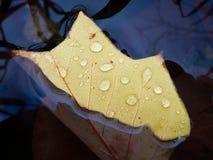 sjunka för leaf Royaltyfria Bilder
