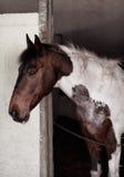 Skäckig häst inom ett stall royaltyfria foton
