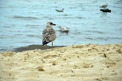 Skäckig havsfiskmås observera de andra fåglarna vid Östersjön fotografering för bildbyråer