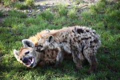 Skäckig hyena med valpen Royaltyfria Foton
