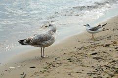 Skäckiga och grey&whitehavsfiskmåsar som ser Östersjön arkivfoto