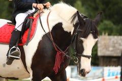 Skäckigt greja hästståenden Royaltyfria Foton