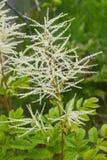 Skägg för skogget; Aruncus dioicus Vit fluffig växt som utomhus växer i trädgården fotografering för bildbyråer