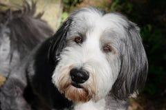 skäggig colliehund royaltyfri fotografi