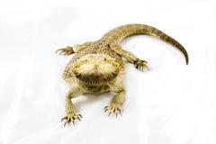 skäggig drake isolerad white Arkivfoto
