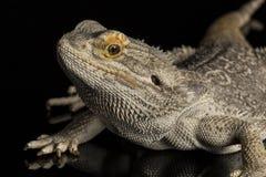 Skäggig drake - som isoleras på svart Royaltyfri Fotografi