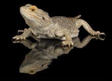 Skäggig drake - som isoleras på svart Royaltyfria Bilder